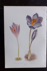Wooster 1874 Antique Botanical Print. Crocus Nudiflorus, Speciosus